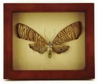 African Mask Butterfly, Megan Brain